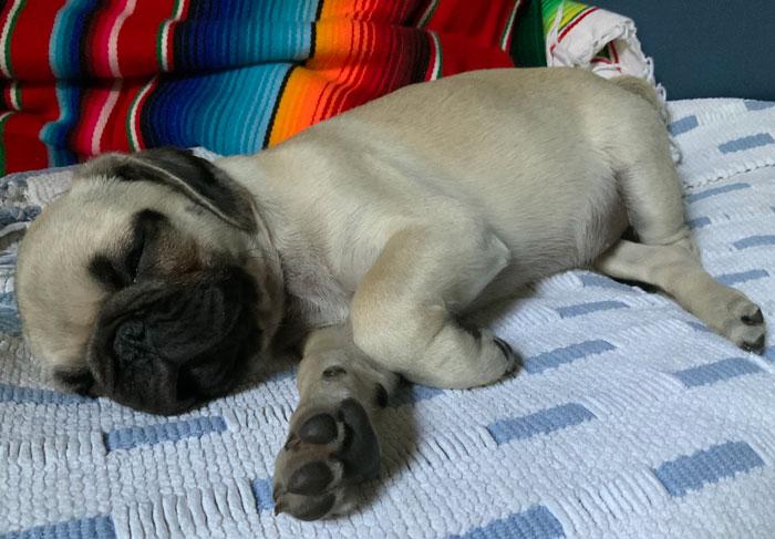 Frankie the Pug puppy