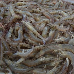 raw shrimp on boat