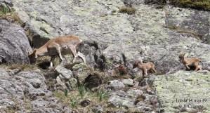 La famille des bouquetins du Parc national s'agrandit