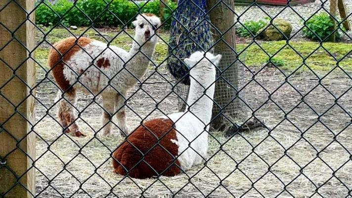 alpaca 3