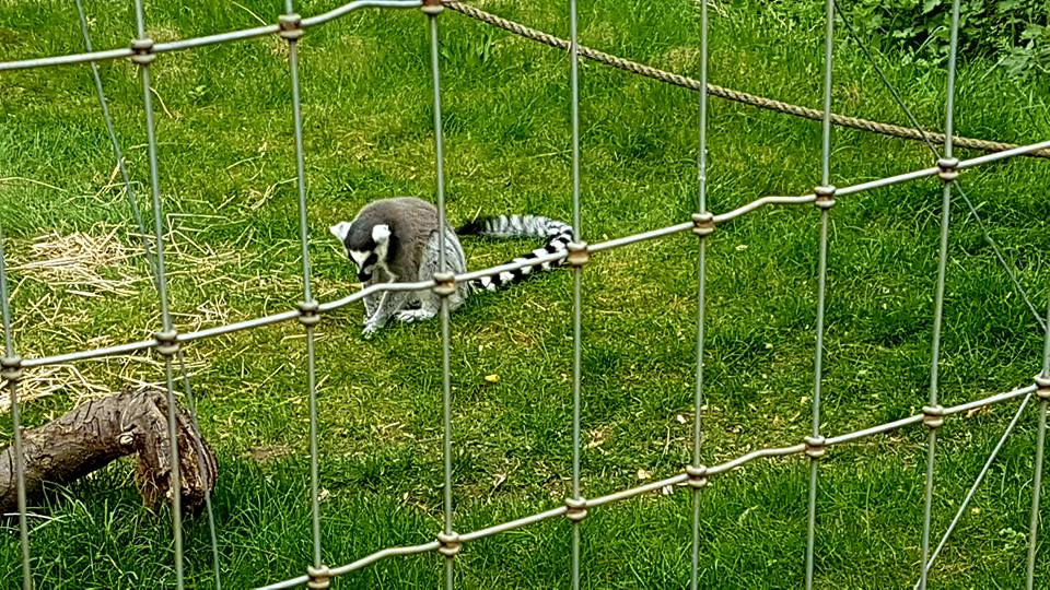 lemur 3