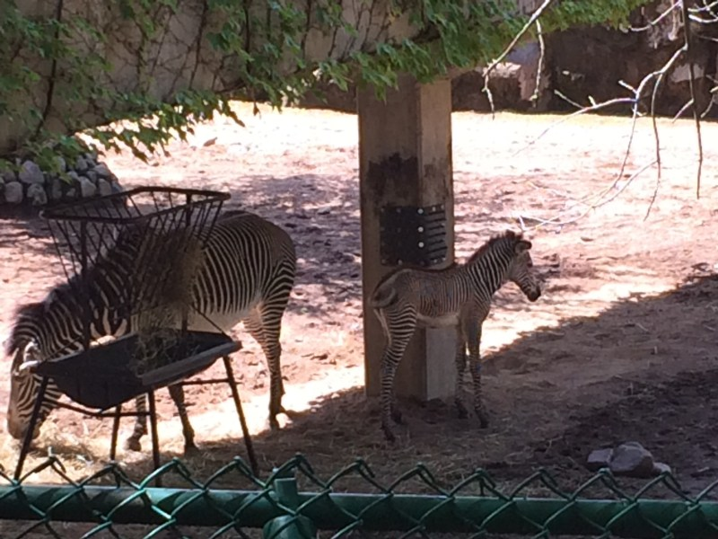 2016_07_06 longman eagle, zebra, conservatory 011