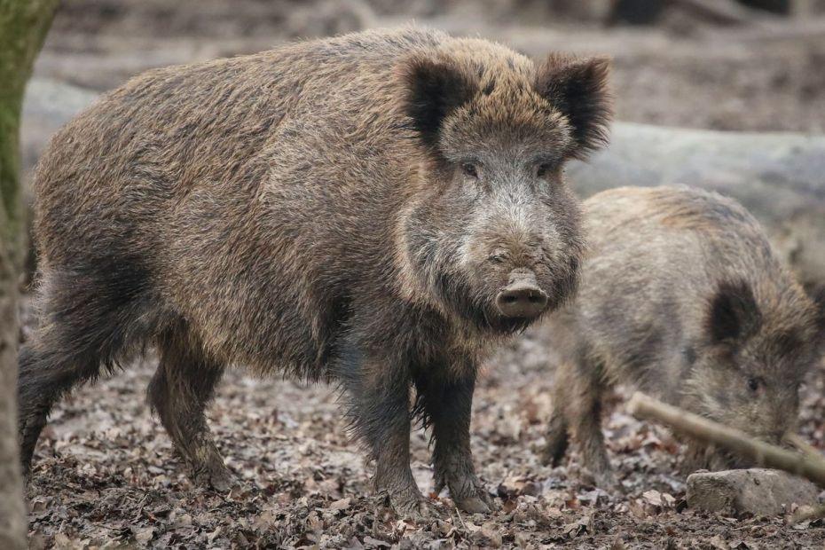 divja svinja; vir: EPA