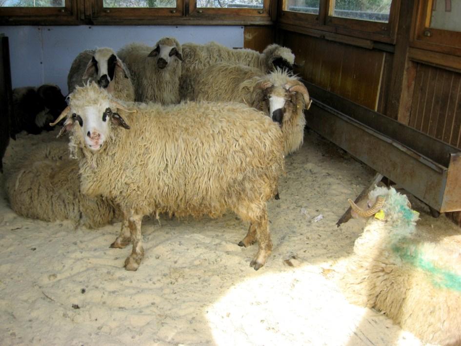 Большинство сортов сыра в Турции делают из козьего и овечьего молока