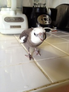 FortuneCookieAttackParrot1