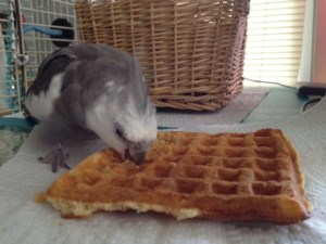 A feathered Sunday brunch diner digs into his sole, well prepared, and exceptionally tasty toasted waffle.
