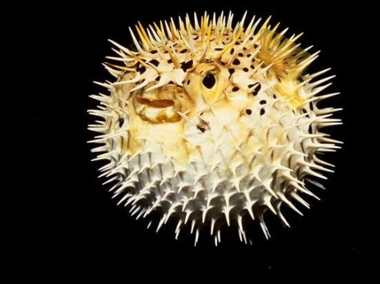 """A round spiky pufferfish. (image courtesy of """"National Geographic"""")"""