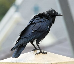 Freshly showered wet raven (courtesy of Flickr).