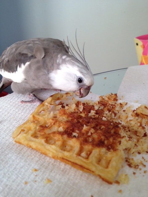 """The unstoppable """"Waffle Terminator"""" in the process of terminating his prey."""