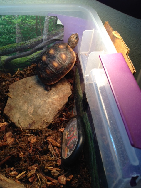 Our new addition - Malti, a featherless baby redfoot tortoise.