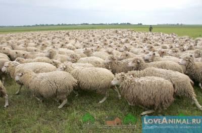 Возродится ли в Беларуси разведение овец? Продал все ради овец и программы Лукашенко. Сириец развивает овцеводство под Шкловом