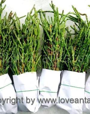 salt herb