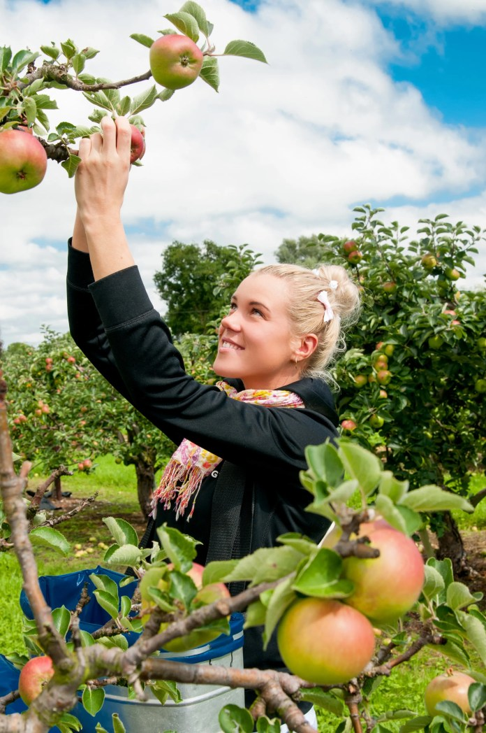 Picking the apples for the MacIvors cider. Credit Paul Canning