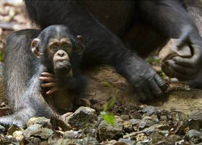 DisneyNature CHIMPANZEE Movie Review and New Clip