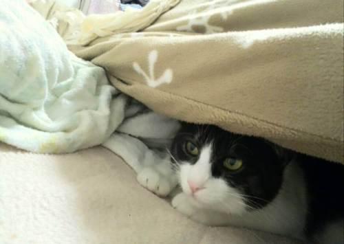 ハチワレ猫のアリスが布団にもぐっています