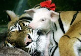 babysitter tiger