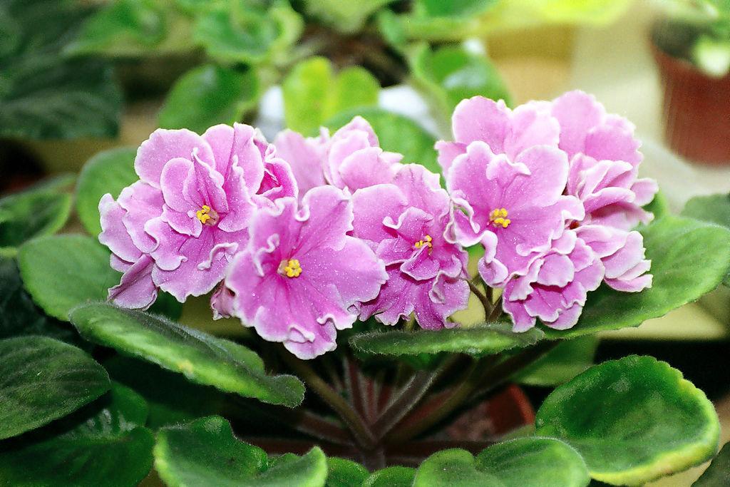 indoor flowering plant