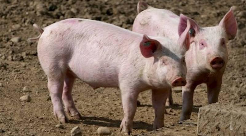 Информационна кампания за Африканската чума по свинете на МЗХГ и БАБХ