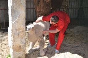 Д-р Станков помага за първите стъпки на роденото в Зоопарка на град Ловеч бяло камилче