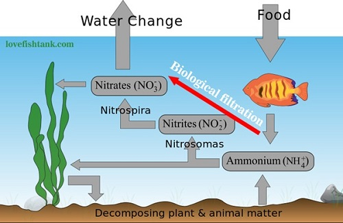 Aquarium nitrogen cycle diagram reviewwalls how to properly cycle a new fish tank setup with hardy ccuart Choice Image