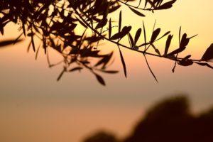 olive-tree-667428_960_720