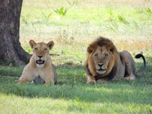 lions-175934_960_720