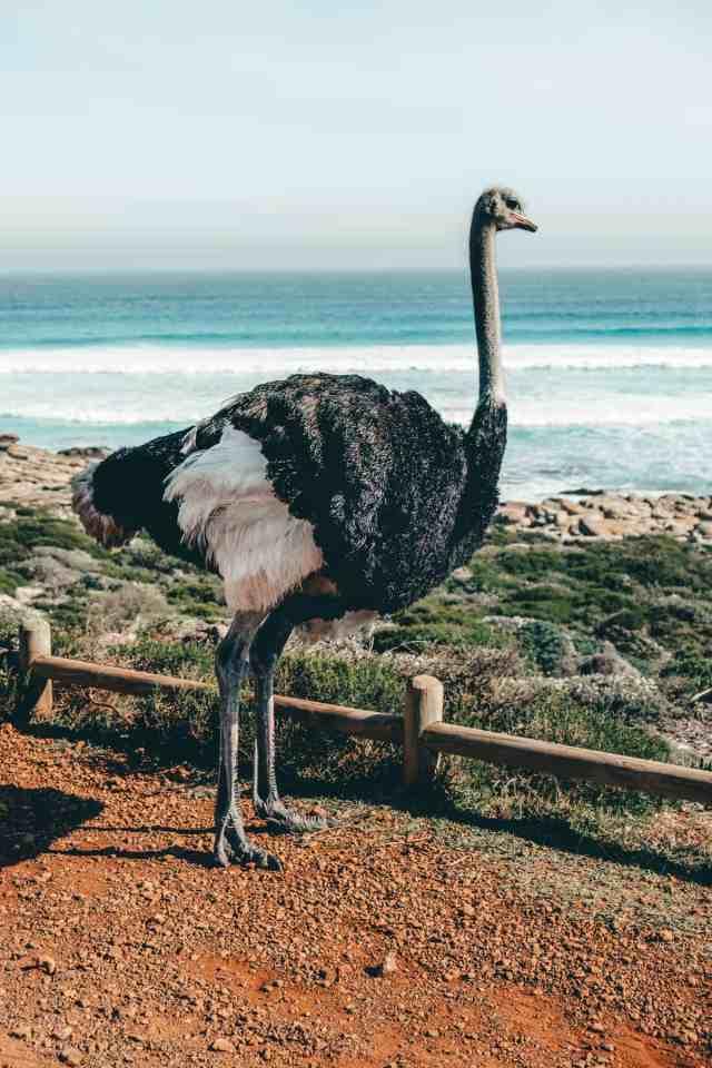 Ostrich in Cape Point Nature Reserve
