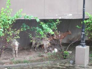 Grand Mosque Goats