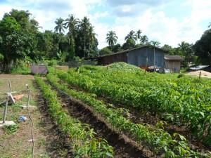 Tree farm (11) rubber trees