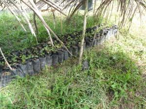 Tree farm (16) mahogany trees