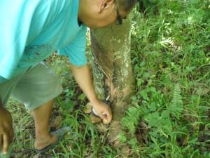 Tree farm (20) tapped rubber tree