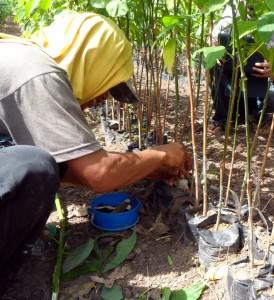 Tree farm (8) budding rubber trees
