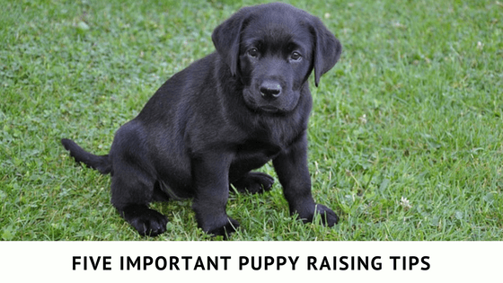 Five important puppy raising tips