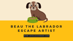 Beau the labrador escape artist