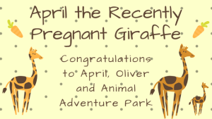 April the Recently Pregnant Giraffe: Congratulations to April, Oliver and Animal Adventure Park