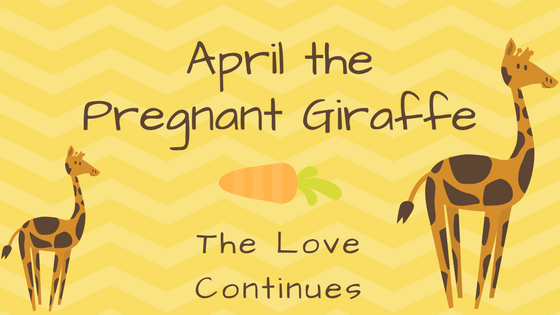 April the Pregnant Giraffe: The Giraffe Love Continues
