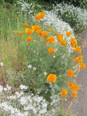 California poppies. I've heard it's too dry for them in California these days