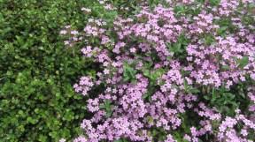 violet flowers but not violets