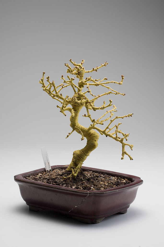 Philippa Lawrence- bonsai I.jpg