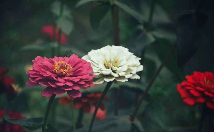 close up photography of zinnia flowers
