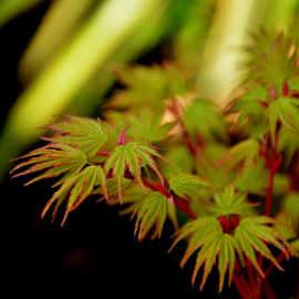 japanese garden acer
