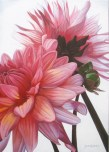 Pink Dalias in Sunlight (2013) 50x70 cm SOLD