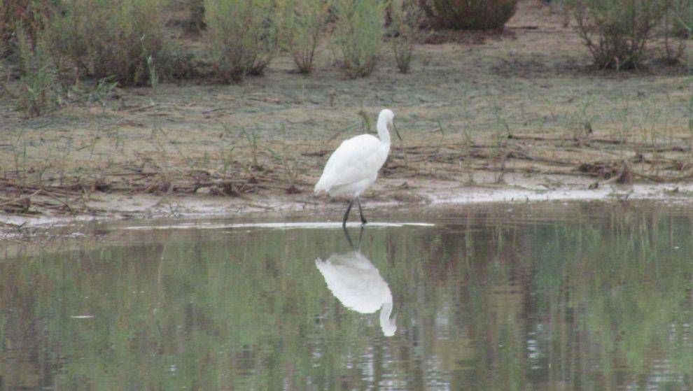 White wading bird