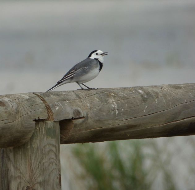 We think this is a wagtail - seen at the local nature reserve