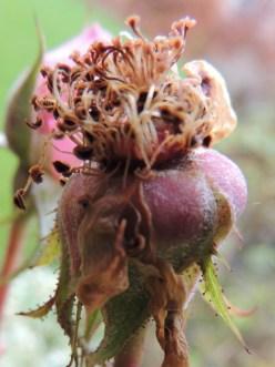 Frøkapsel fra en rose