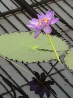 Åkande i Kew