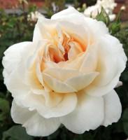 Crocus Rose Austin