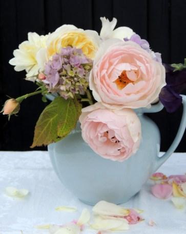 Scepter d'Isle og Crocus rose - Austin roser