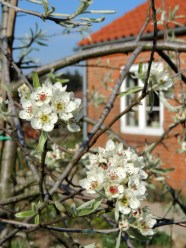 Pilebladet pære eller Nordens oliventræ