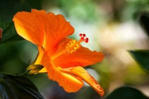 Hibiscus flower freeimages.com